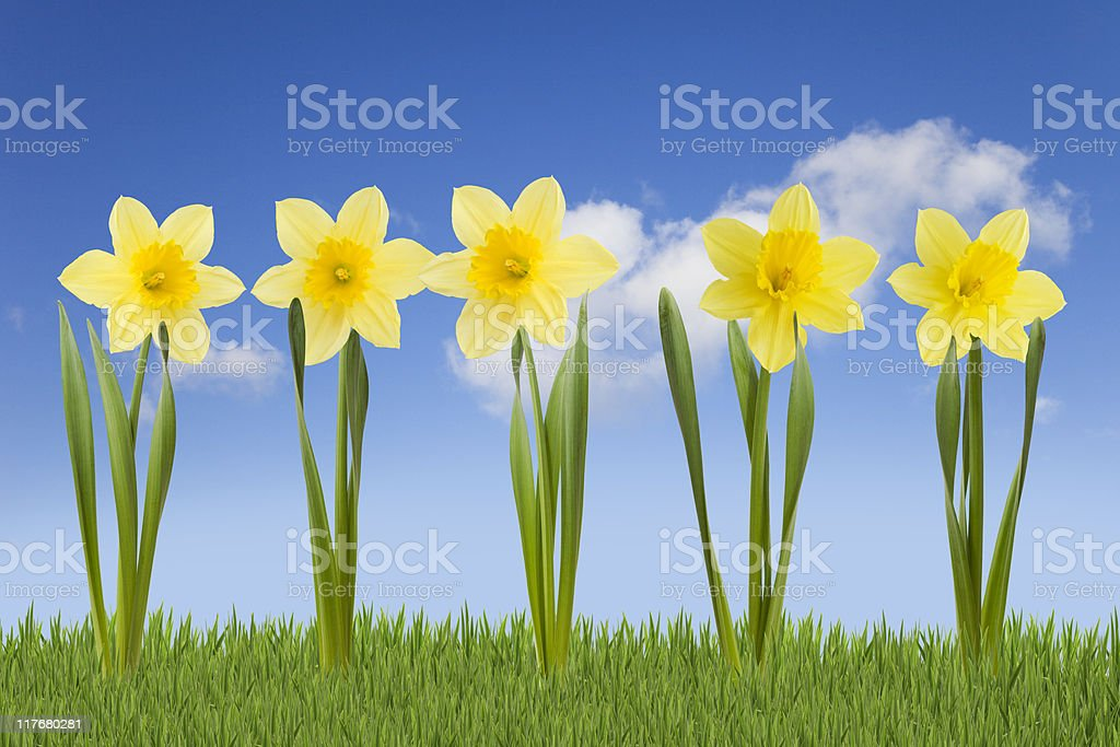 Daffodils. royalty-free stock photo