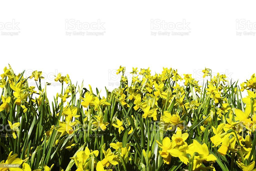 Daffodils (+ path) royalty-free stock photo