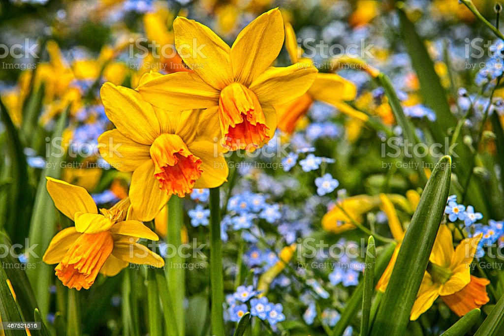 Daffodils (Narcissus) stock photo