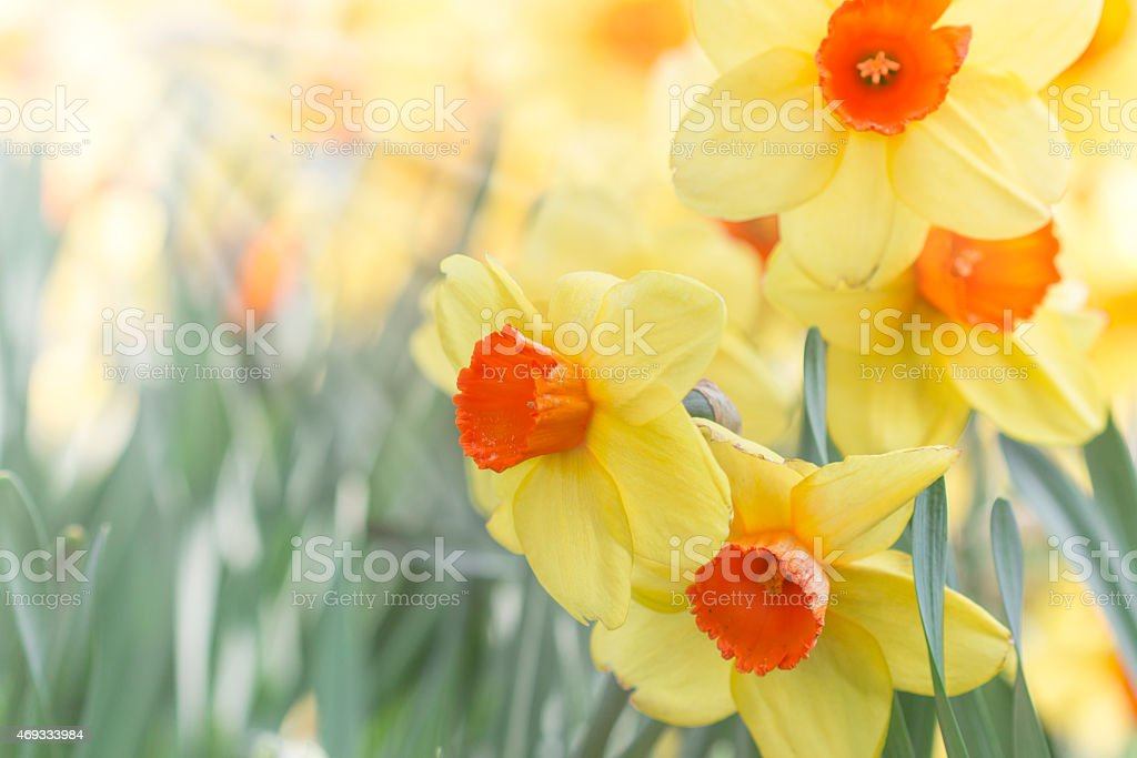 Daffodils stock photo