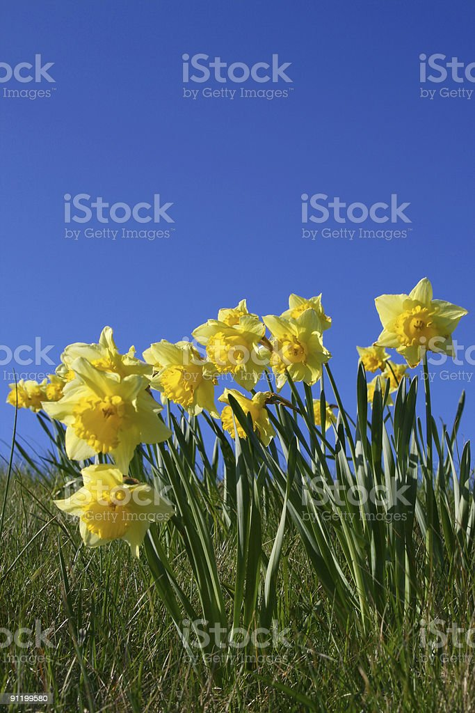 Daffodils royalty-free stock photo