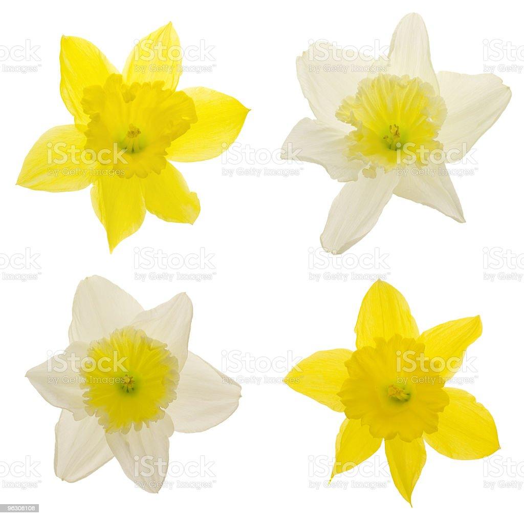 Daffodils (XXL) royalty-free stock photo