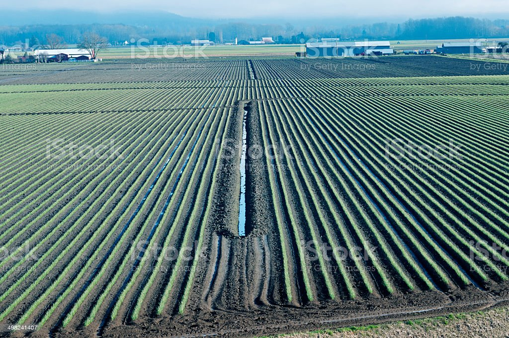 Daffodils planted in Skagit Valley WA stock photo