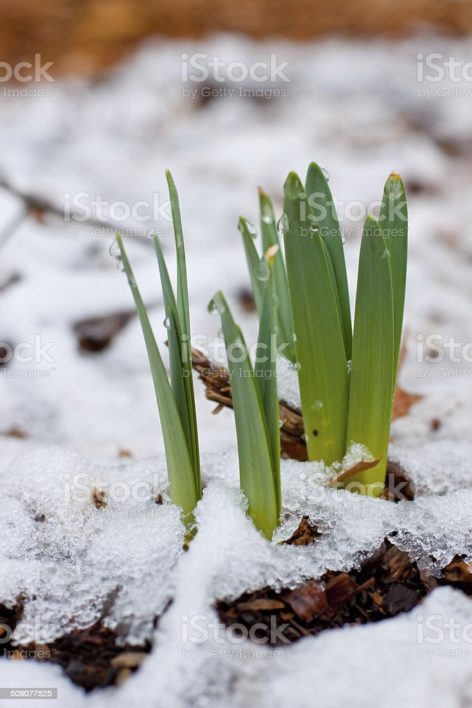 Daffodils sprouting in the springtime through a blanket of snow stock photo
