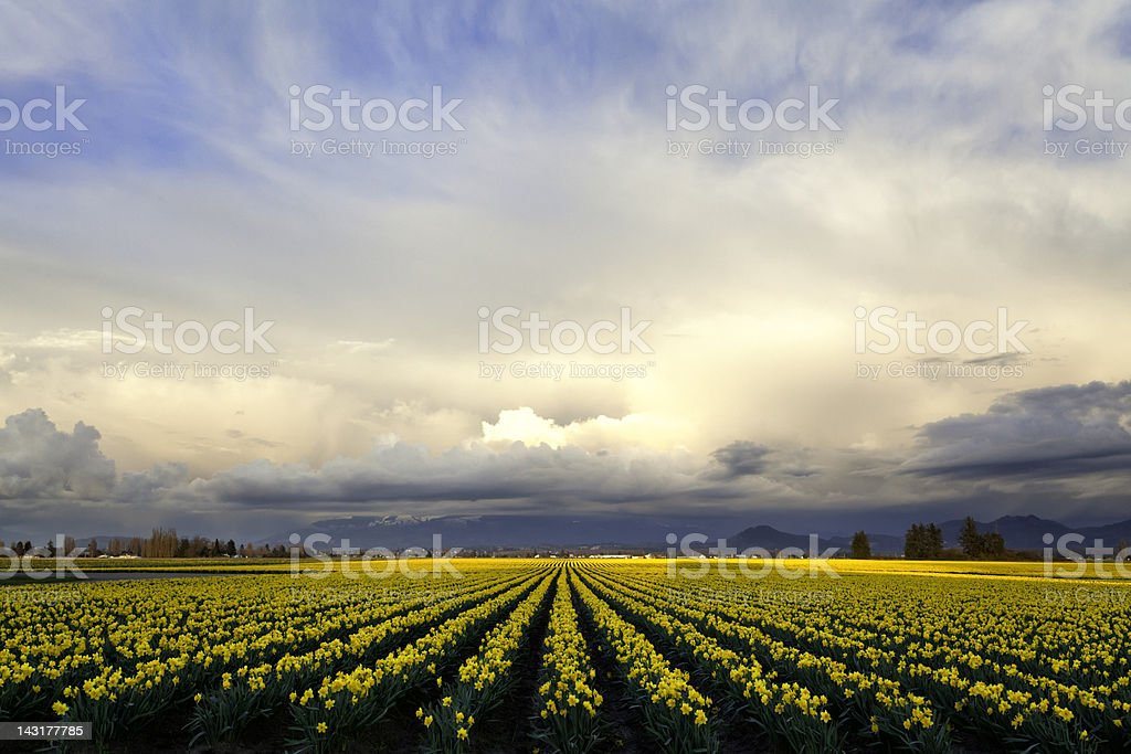 Daffodils Sunset Skagit Valley royalty-free stock photo