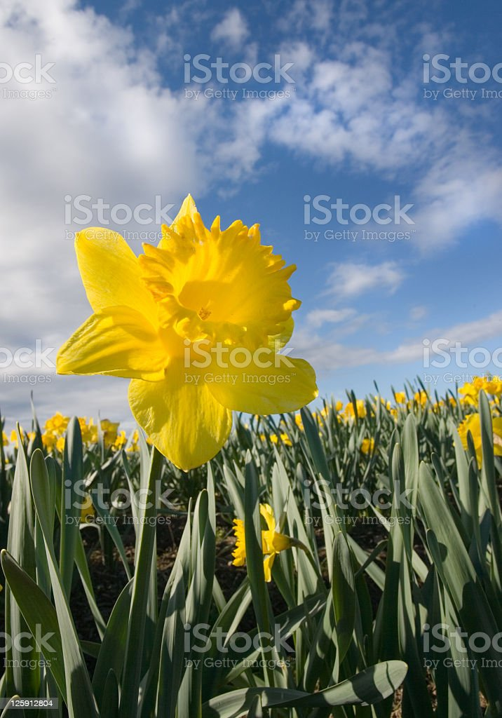 Daffodils under a Glorious Blue Sky, Victoria, B.C. royalty-free stock photo