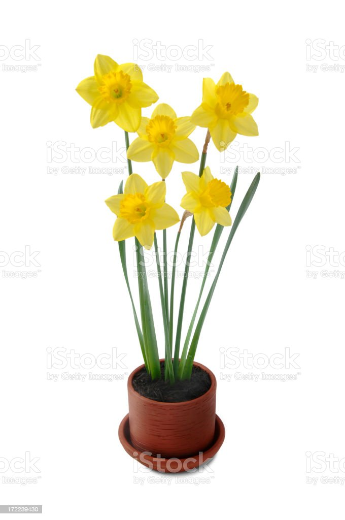 Daffodils with Path royalty-free stock photo