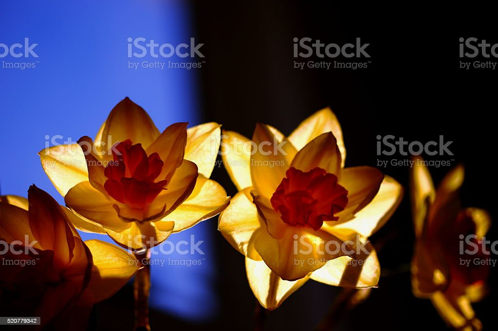 Daffs on blue and black background stock photo