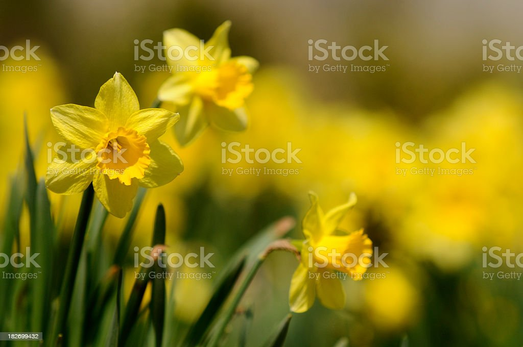 dafodill stock photo