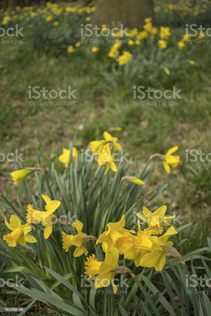 dafodills stock photo