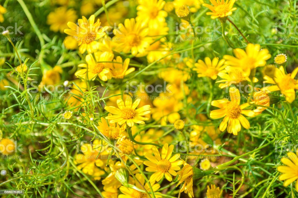 Dahlberg Daisy flower stock photo
