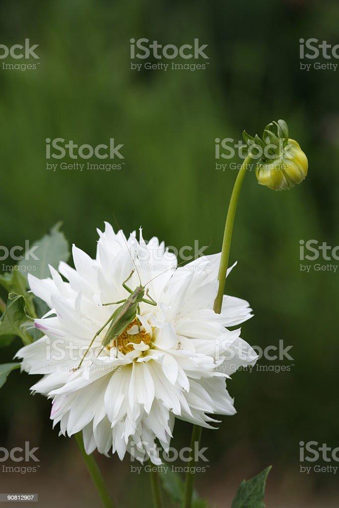 Dahlia and grasshopper royalty-free stock photo