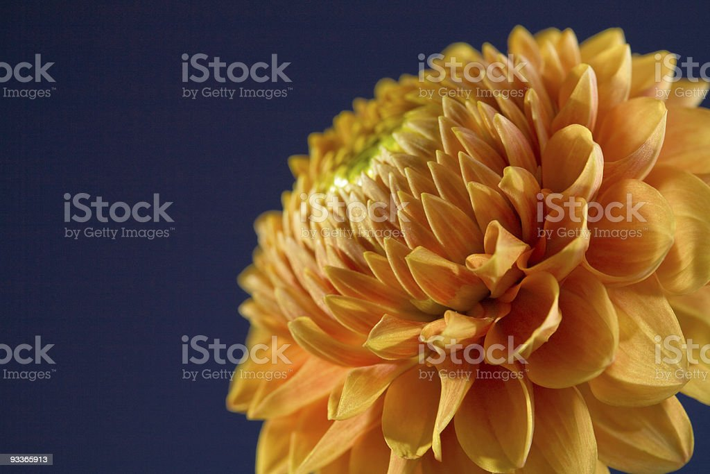 dahlia dark stock photo