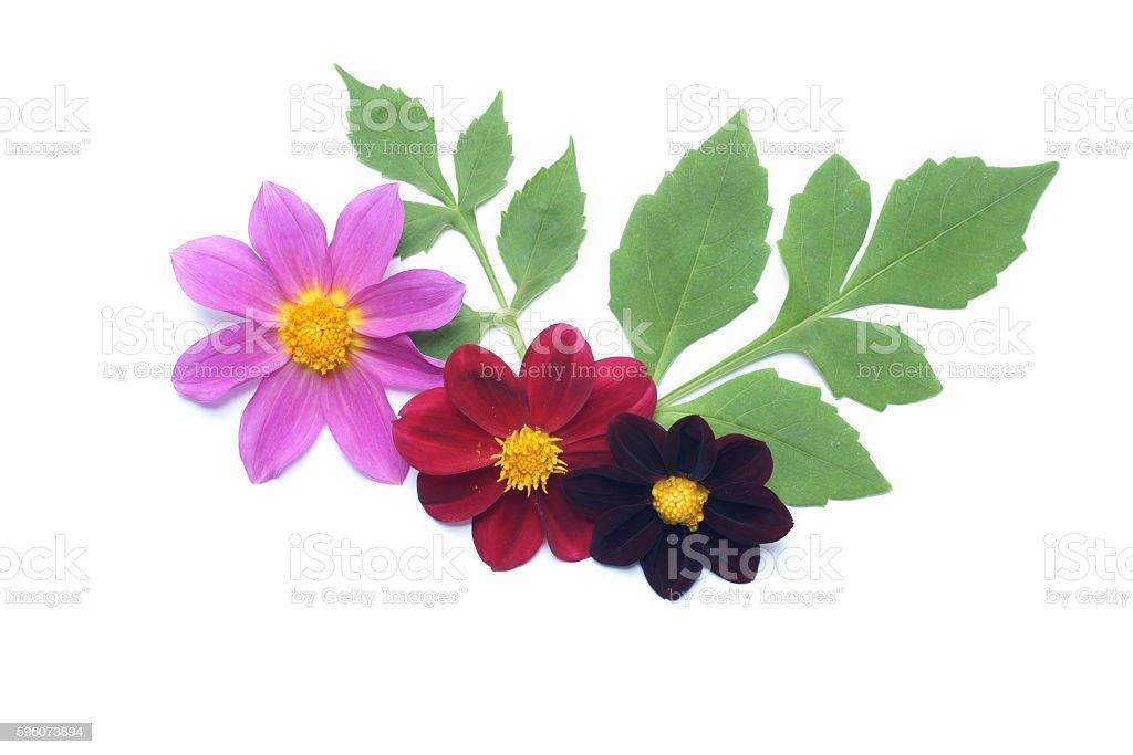 Dahlia flower arrangement on white stock photo