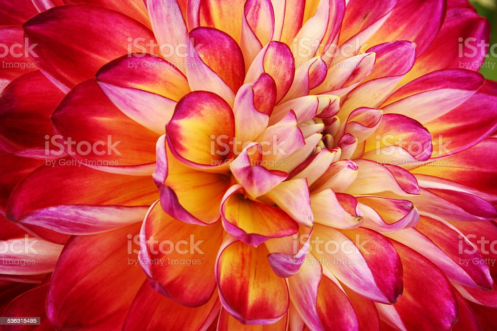 Dahlia flower. Canfield Fair, Youngstown, Ohio, USA. stock photo