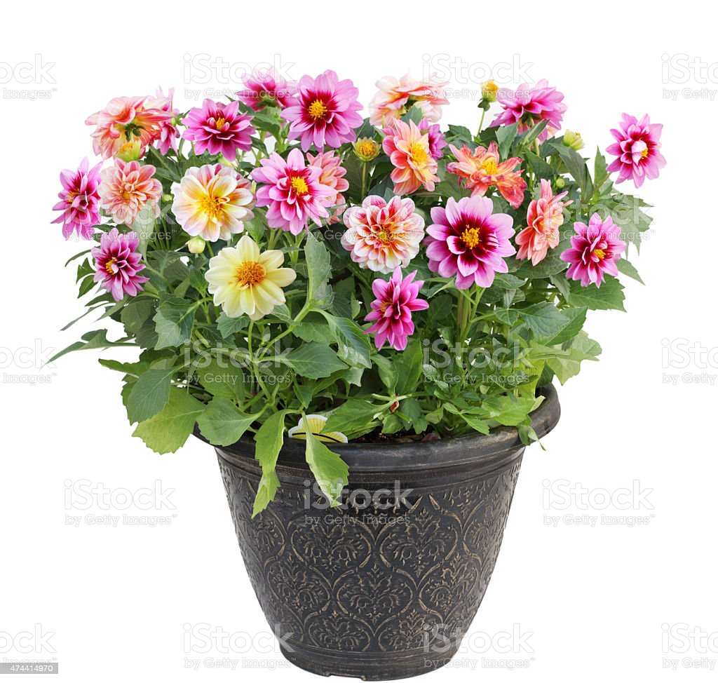Dahlia Flower in Pot stock photo