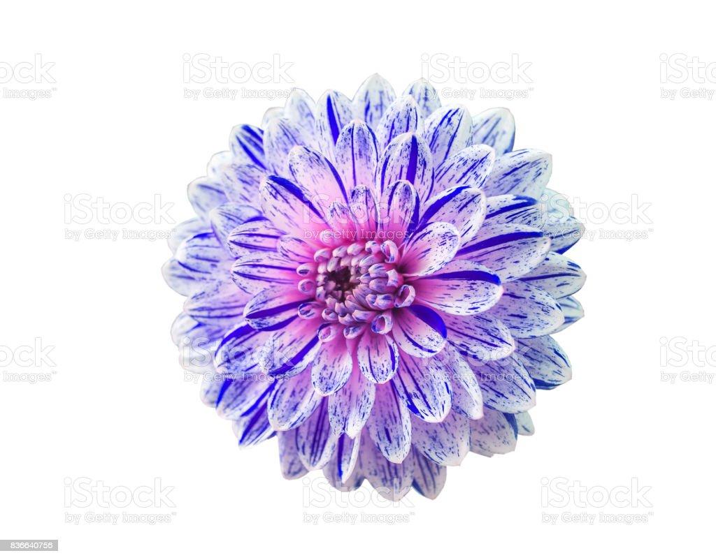 dahlia flower on a white background closeup stock photo