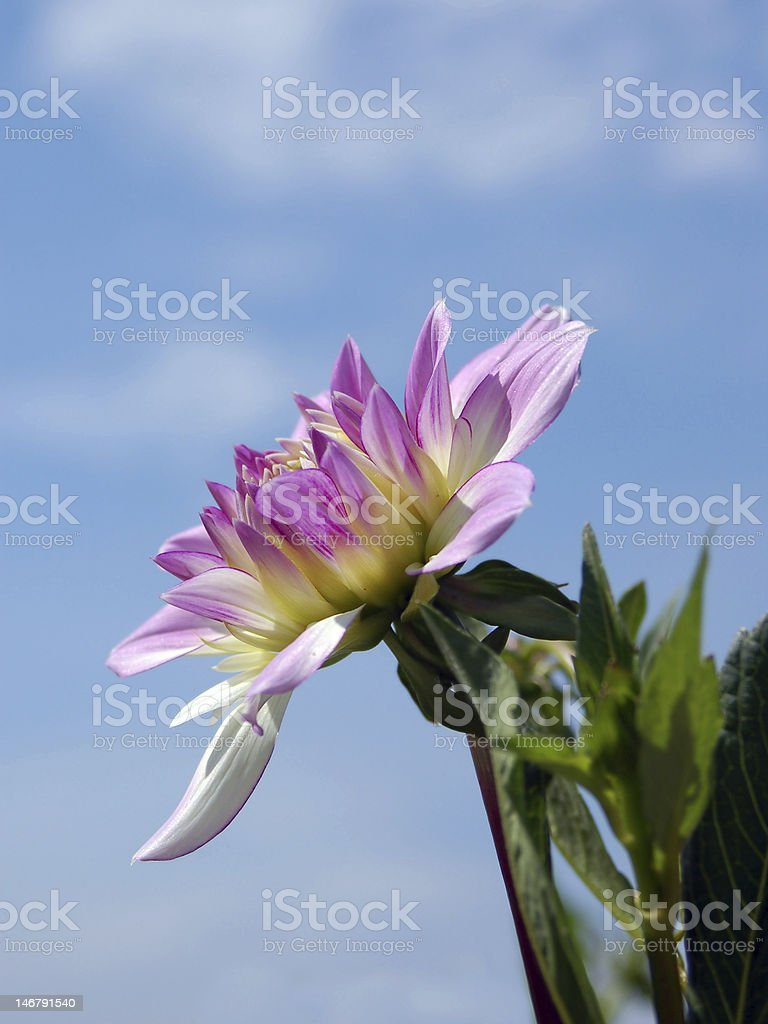 Dahlia flower royalty-free stock photo