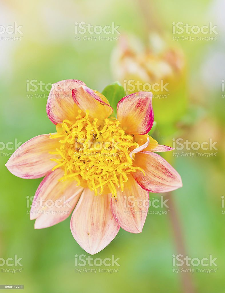 Dahlia flower royalty-free stock photo