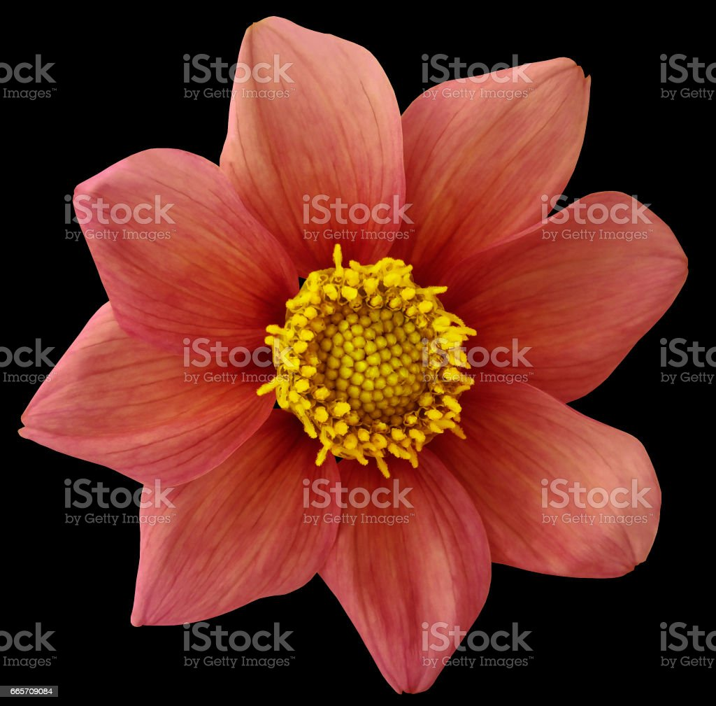Dahlia flower vinous-red, black isolated background with clipping path.   Closeup.  no shadows.  For design. eight petals.  Nature. stock photo
