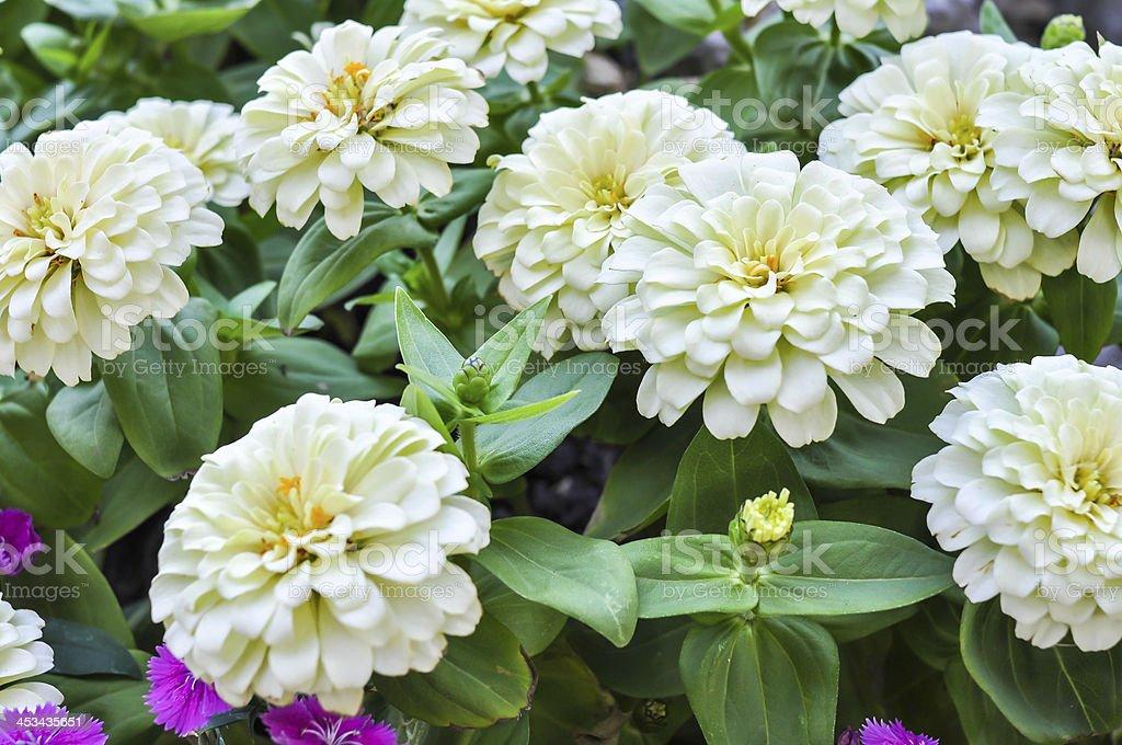 dahlia Flower white stock photo