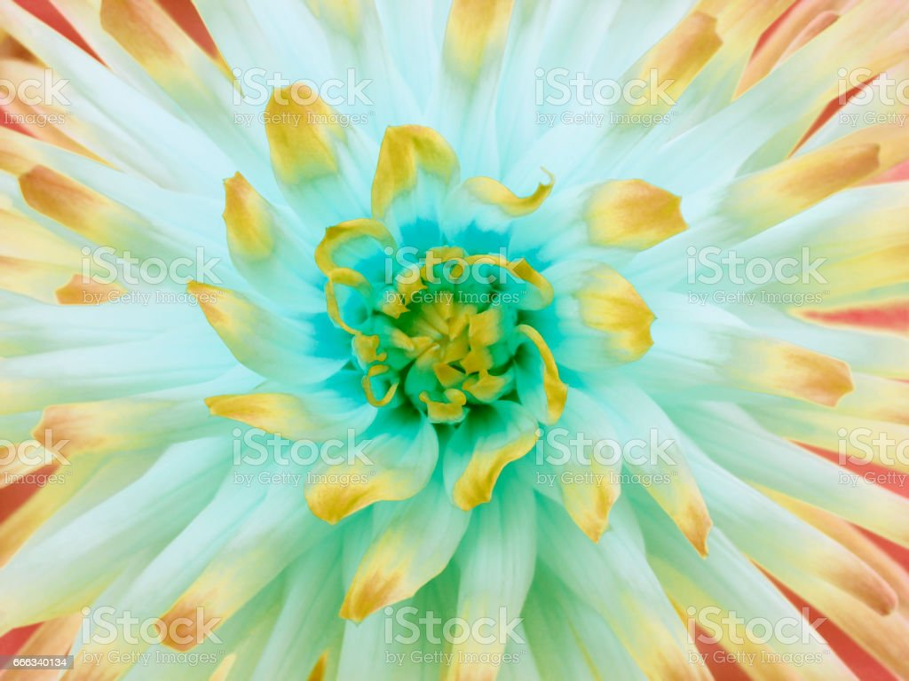 Dahlia  flower  white-orange-yellow. Petals colored rays. Closeup.  Beautiful dahlia  in bloom  for design. Nature.'n stock photo