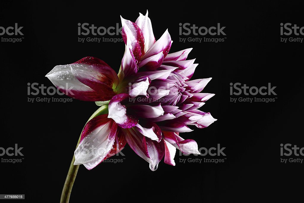Dahlia flower with Dew Drops Isolated on black background royalty-free stock photo
