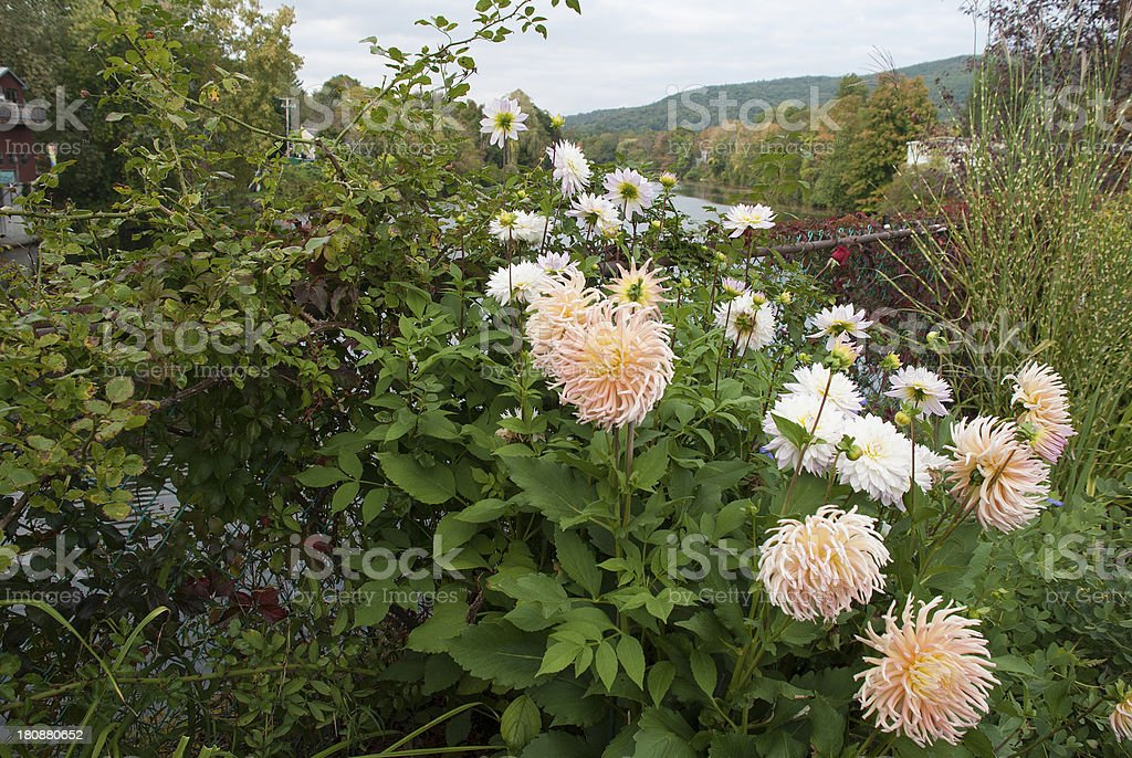 Dahlia flowers in fall stock photo