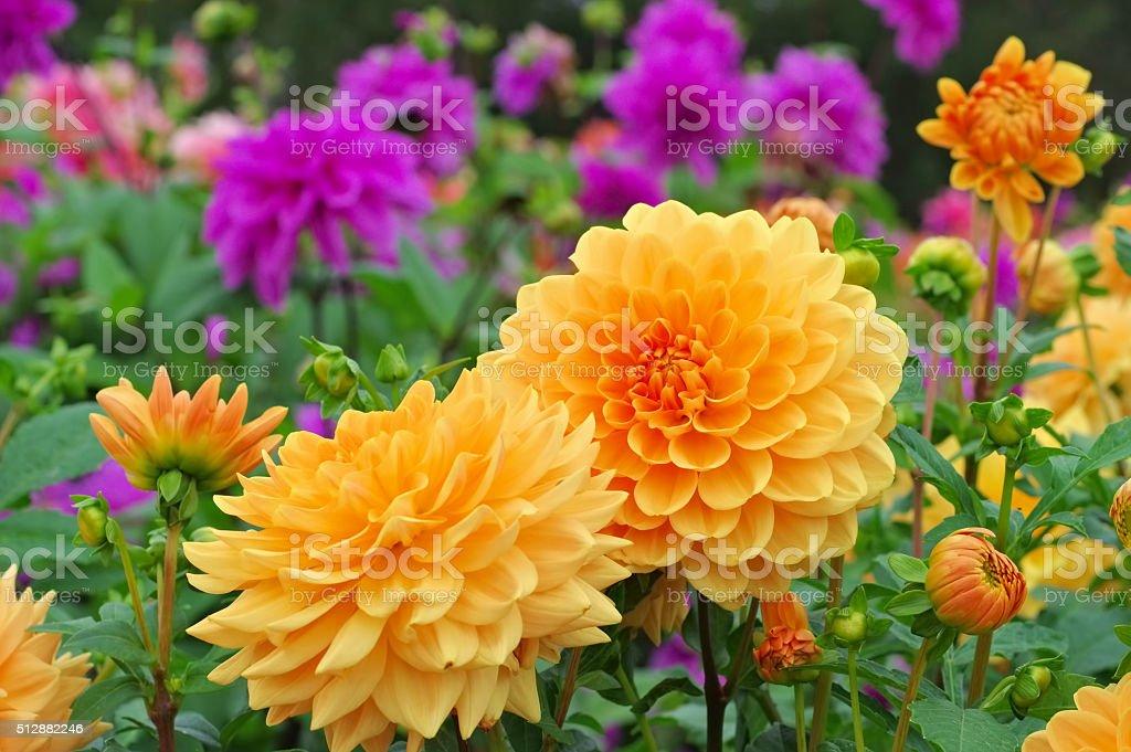 Dahlia is called Orange Garden stock photo