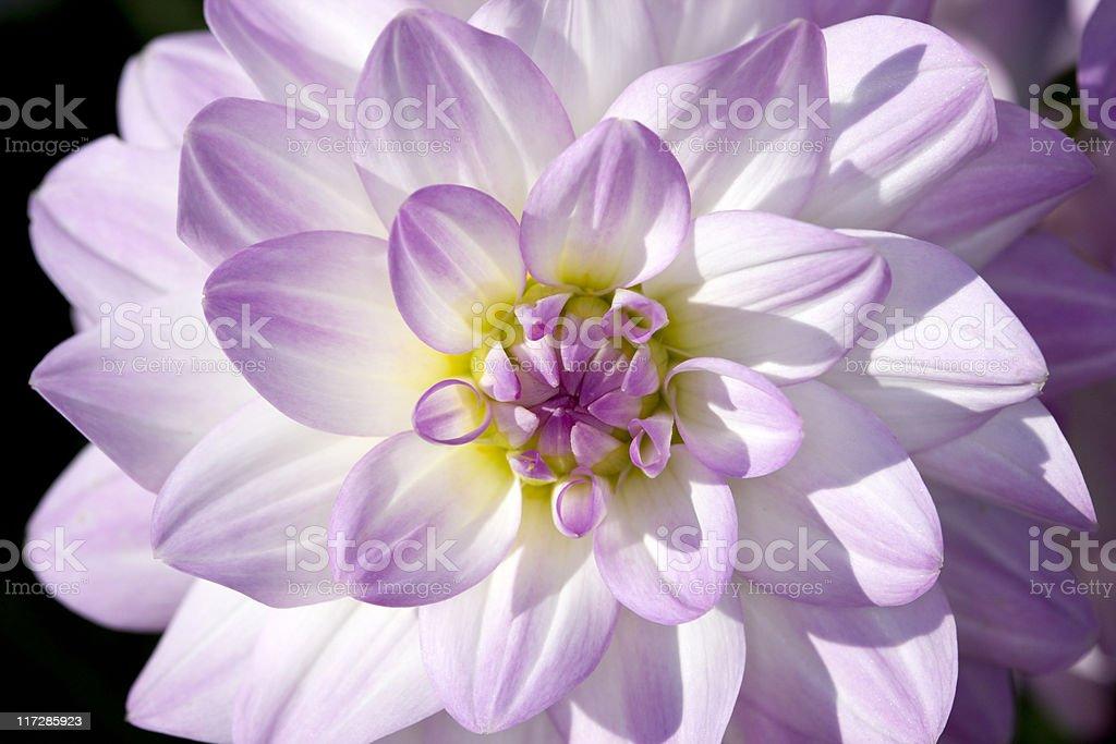 Dahlia (Twilight time) royalty-free stock photo