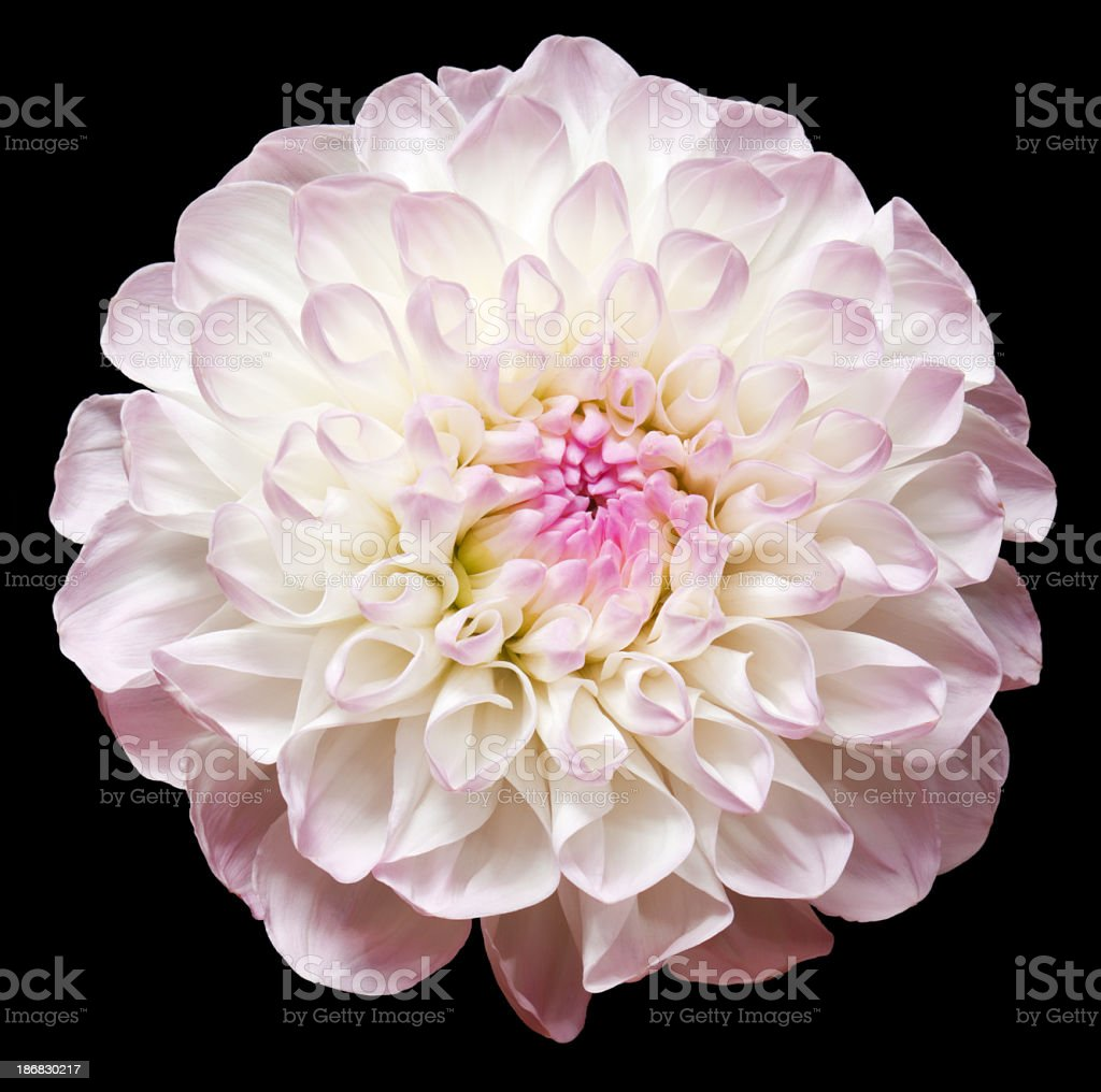 Dahlia. royalty-free stock photo