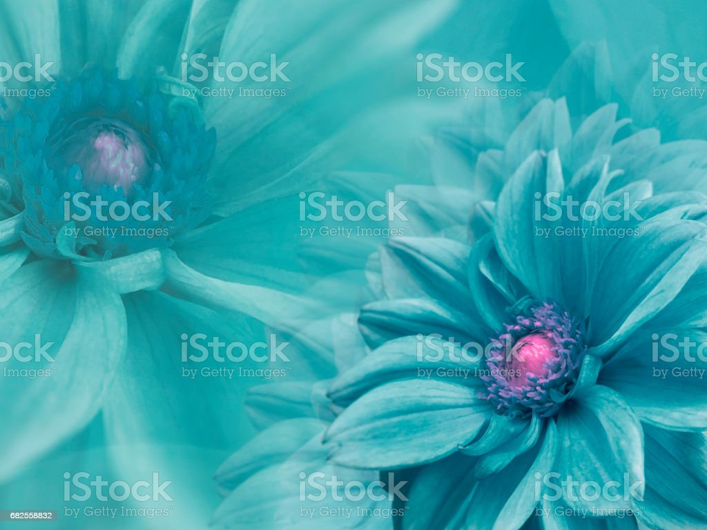 dahlia turquoise flowers,  on turquoise blurred background .  Closeup.  Bright floral composition card for the holiday. Nature. stock photo