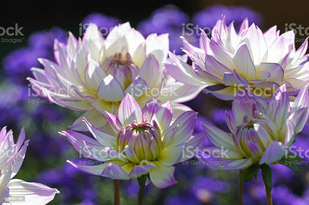 Dahlias and asters stock photo
