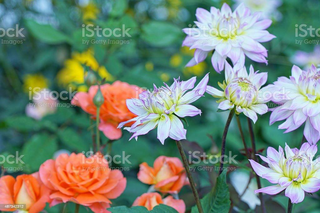 Dahlias and tea roses stock photo