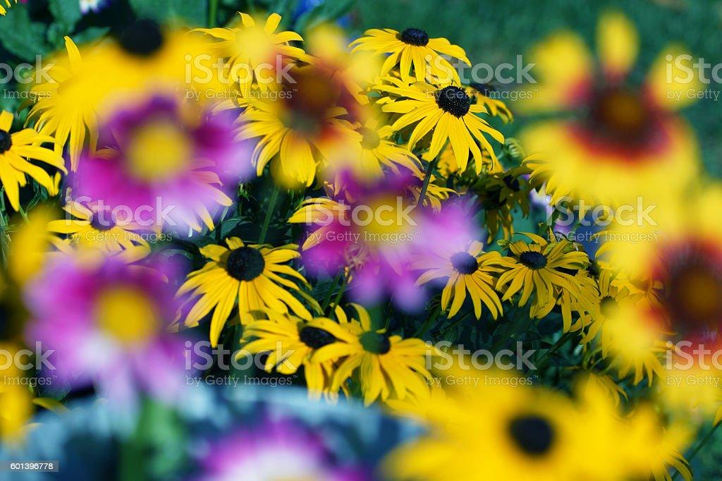 Dahlias, indian blanket and echinacea stock photo