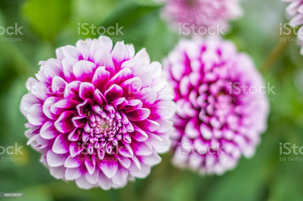 Dahlien stock photo