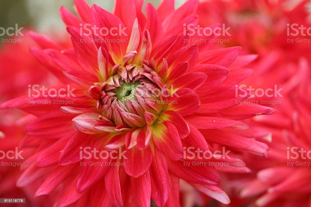 Dahlienblüte stock photo
