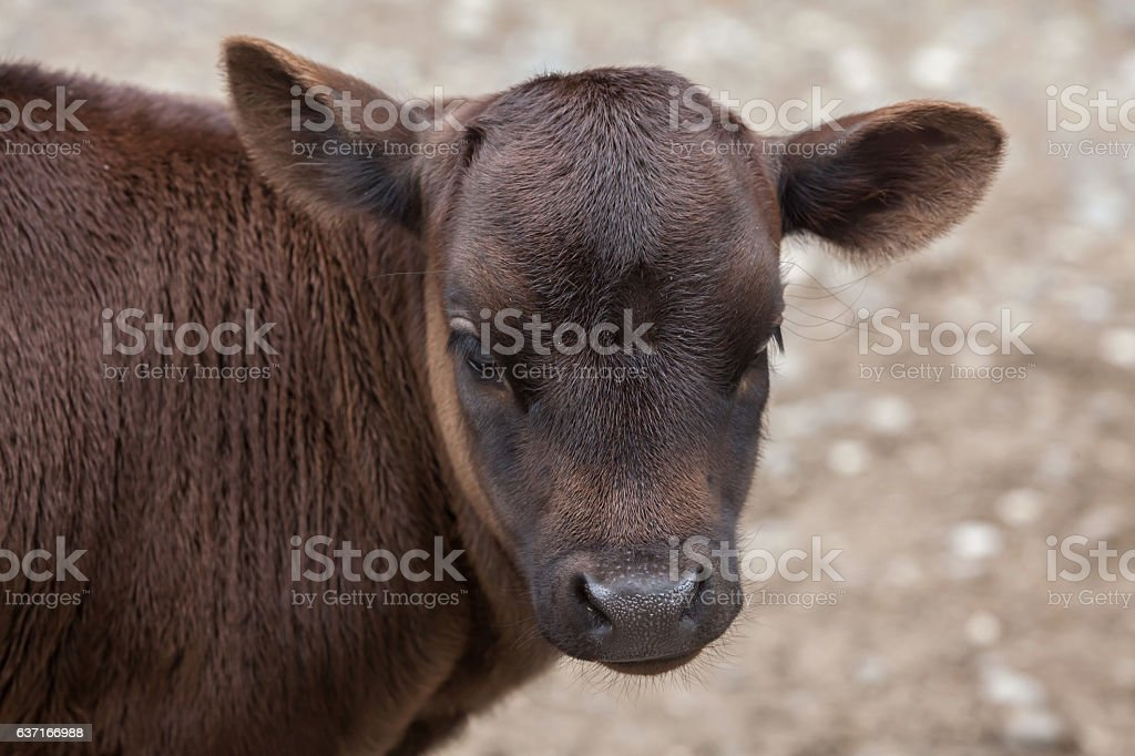 Dahomey dwarf cattle (Bos primigenius taurus). stock photo