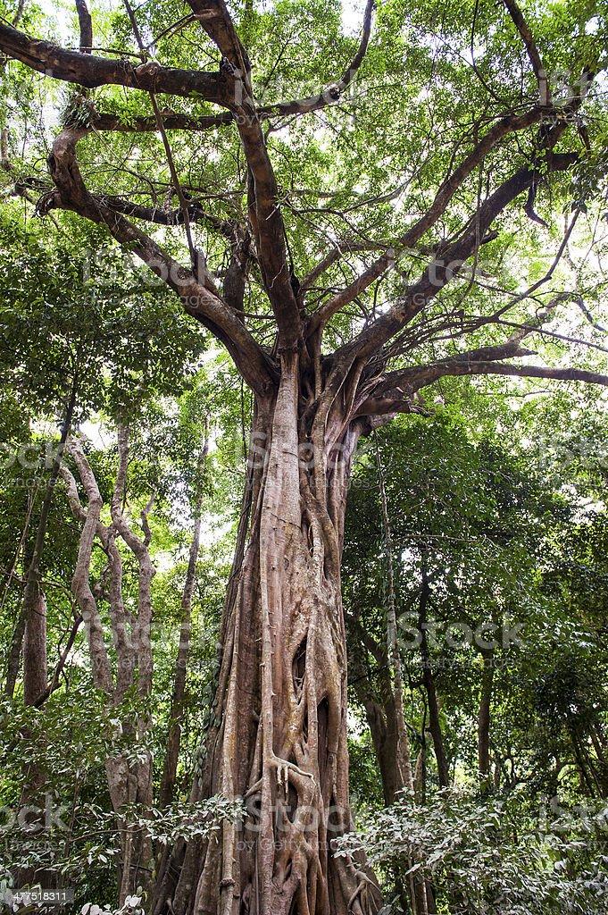 Daintree Rainforest stock photo
