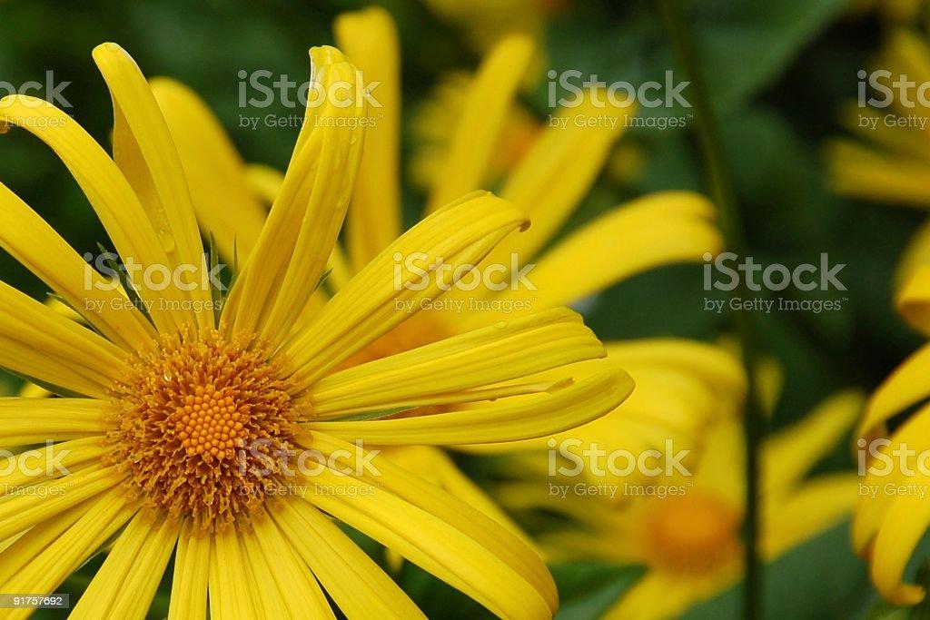 Dainty Daisy royalty-free stock photo