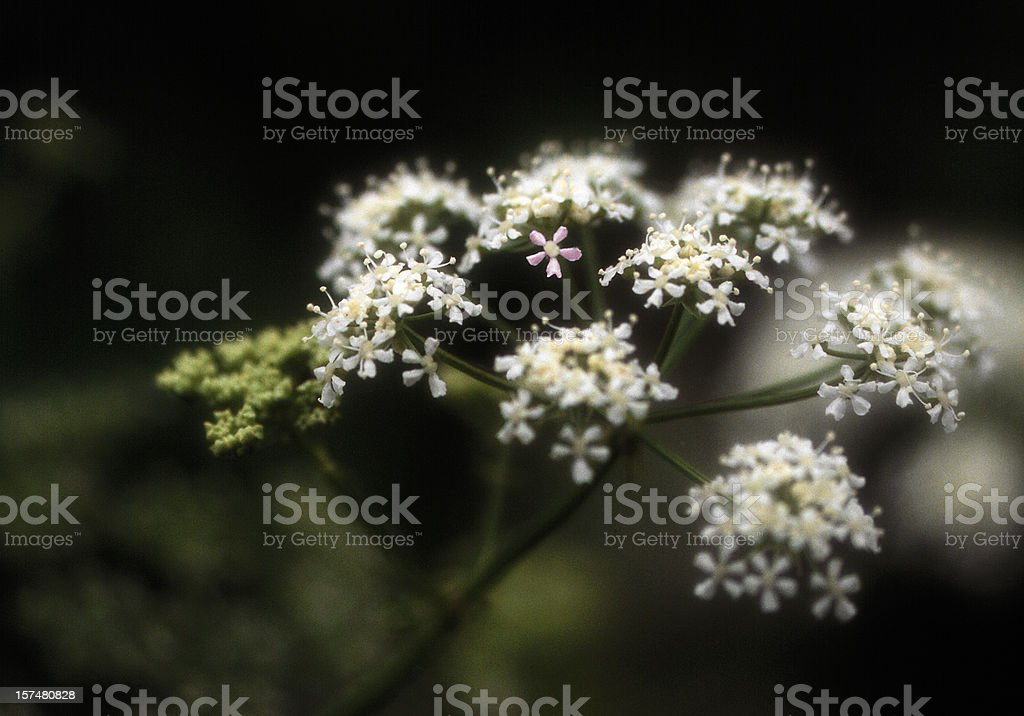 Dainty White Flowers, Pink Flower in Center, Soft Focus royalty-free stock photo