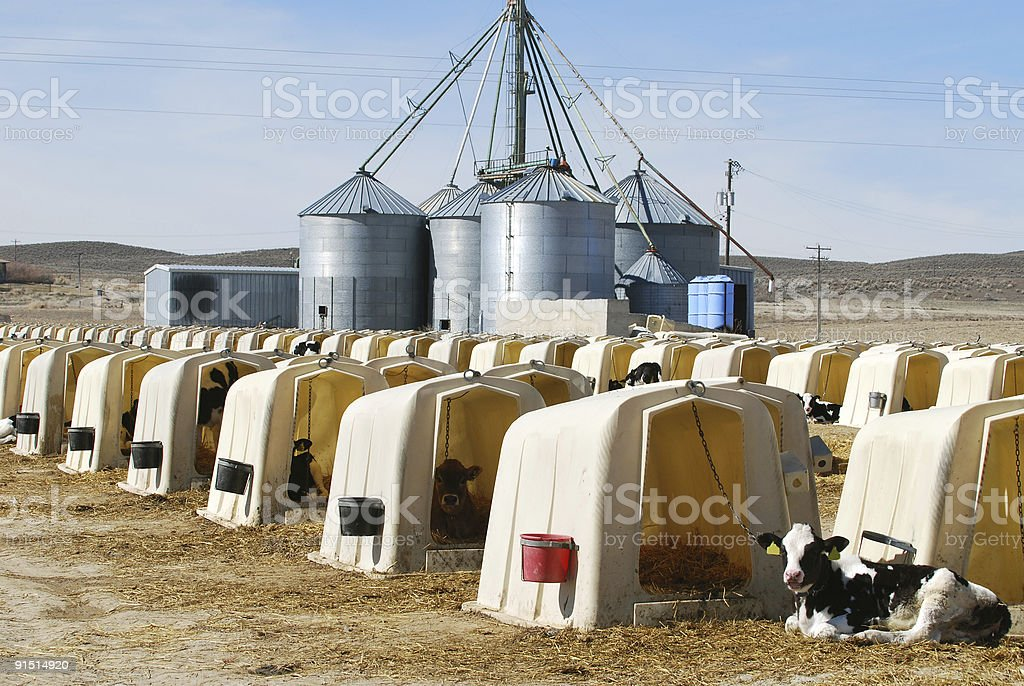 Dairy Calves in Hutches royalty-free stock photo