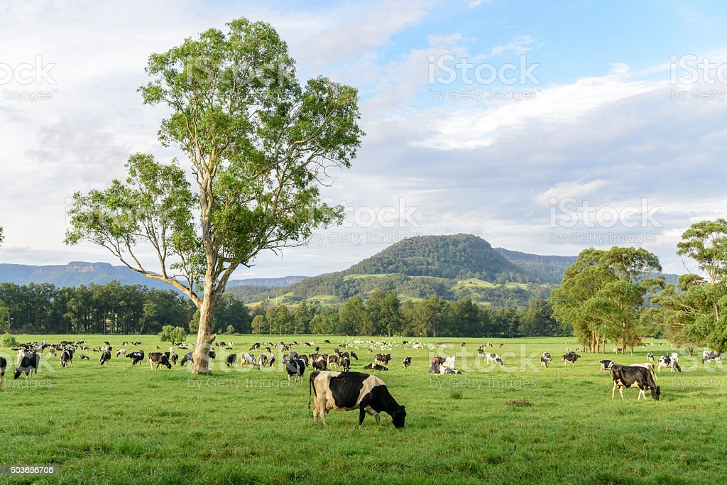 Dairy cattle herd, New South Wales, Australia stock photo