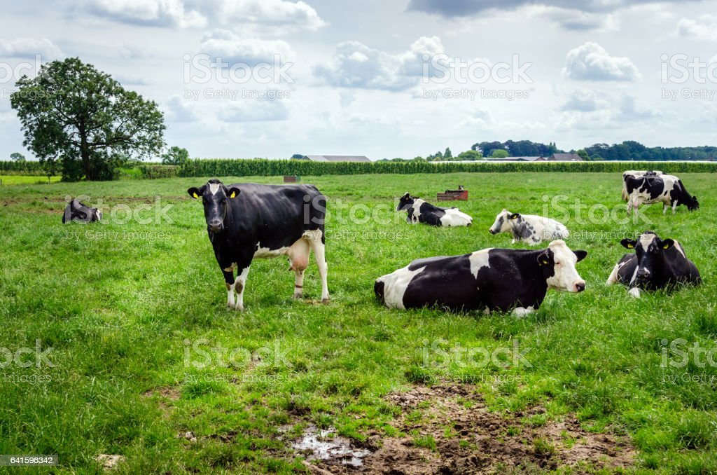 Dairy Cattle in a Pasture under Cloudy Sky stock photo
