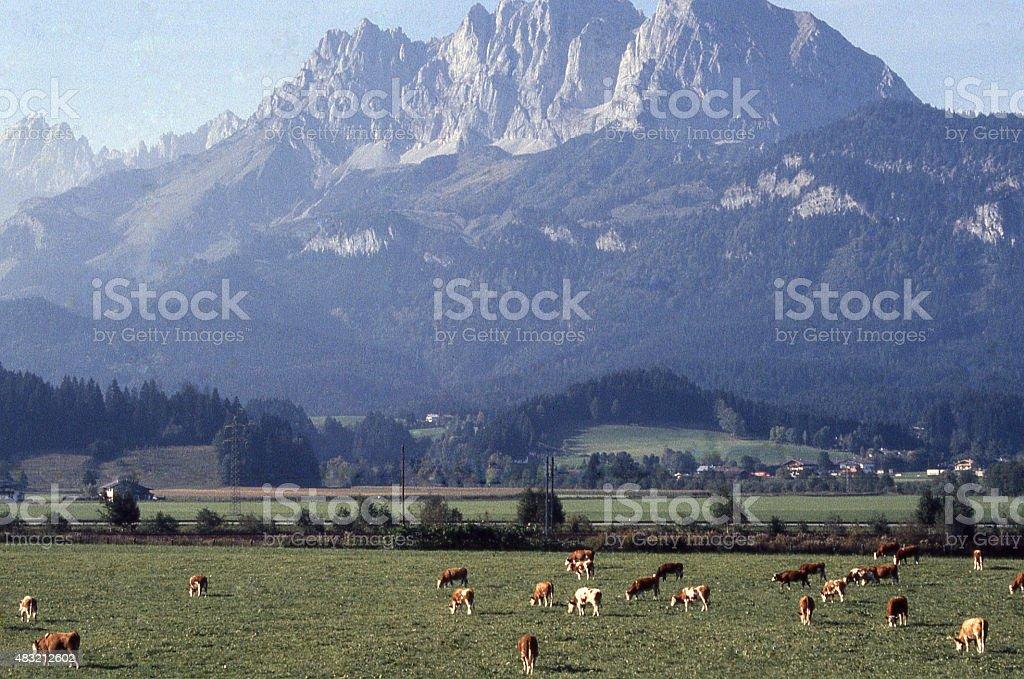 Dairy cattle pastures Kaisergebirge peak in the Tirol Alps Austria stock photo