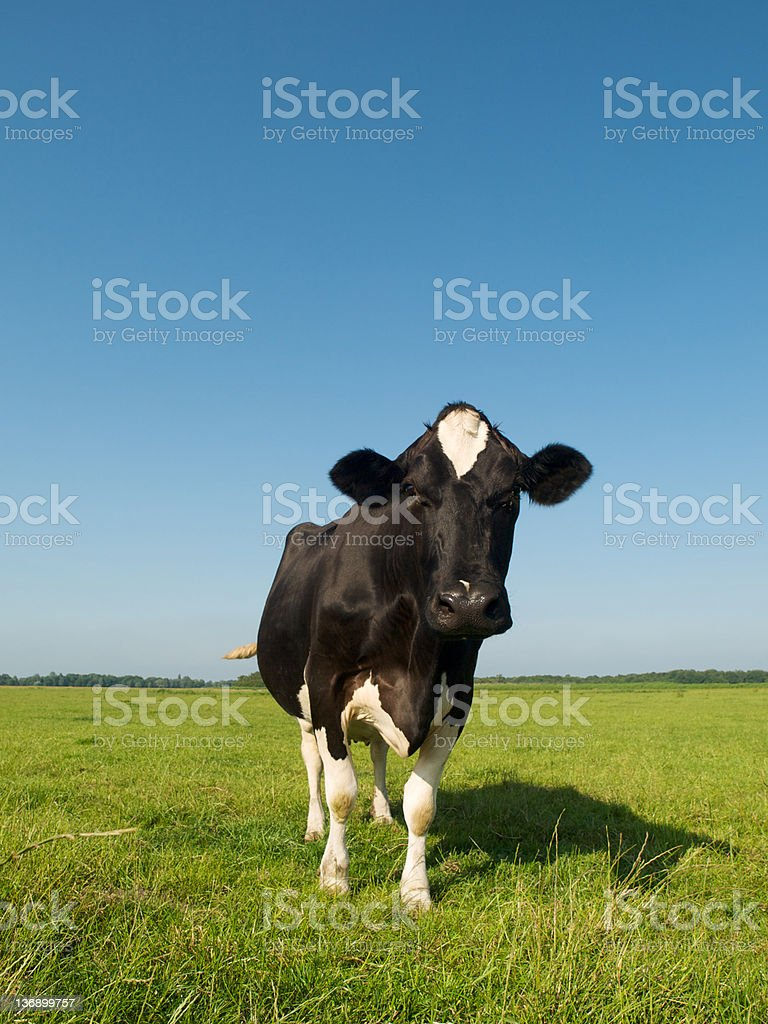Dairy Cattle royalty-free stock photo