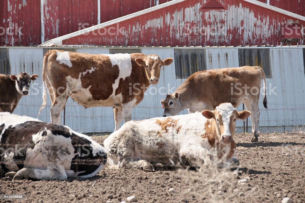 Dairy Cattle stock photo
