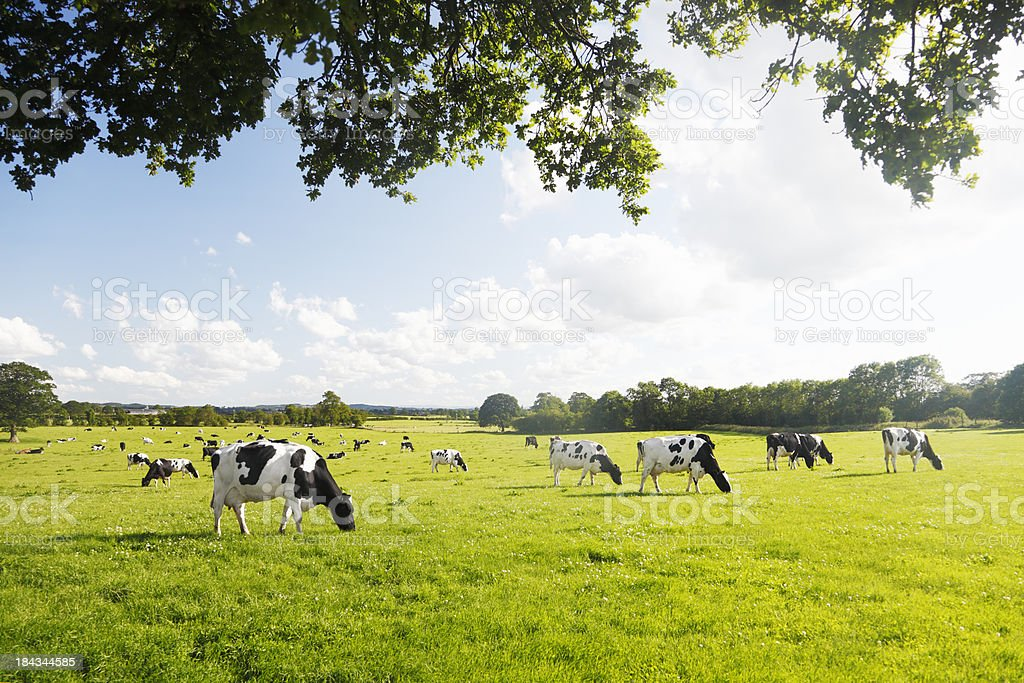 Dairy Cattle under a Summer Sky. stock photo