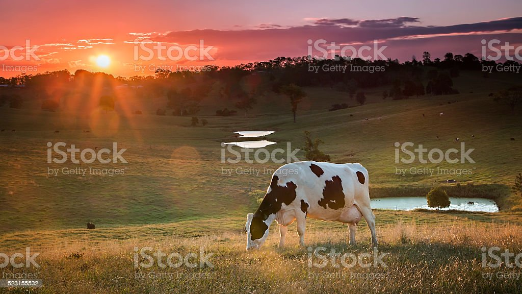 Dairy Cow Grazing at Sunset. stock photo