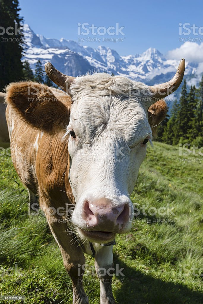 Dairy cow in a meadow surrounded by mountains-XXXL royalty-free stock photo
